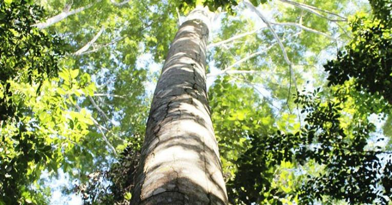 Reflorestamento na Amazônia com Paricá é mais rentável que regeneração natural